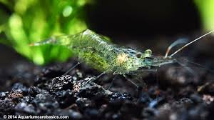 Live Plants In Community Aquariums by Ghost Shrimp Care Food Lifespan Habitat U0026 Videos