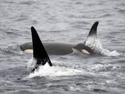 Washington wildlife tours images Whale watching reviews san juan safaris san juan island whale jpg