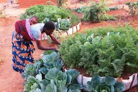 in mahama camp modernized vegetable gardens are saving space and