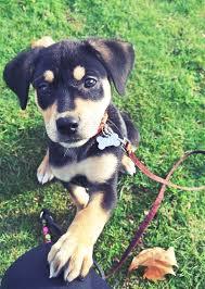 australian shepherd yellow lab mix best 25 dog lab ideas on pinterest chocolate labrador retriever