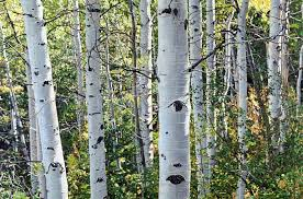 jeffrey vaughn landscape painting aspen trees number treescape oil painting on stretched