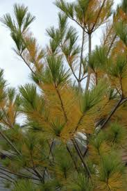 white pine tree what s wrong with my pine tree nothing the garden professors