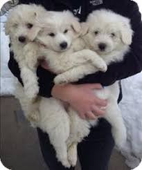 american eskimo dog adoption potomac md american eskimo dog border collie mix meet zoey a