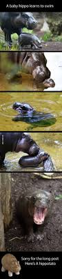 Baby Hippo Meme - 37 best baby hippos images on pinterest baby hippo cutest animals