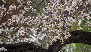 how to spray cherry trees in garden guides