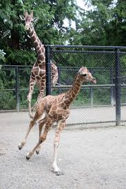 Zoo Lights Woodland Park Zoo by Baby Daddy Woodland Park Zoo U0027s Baby Giraffe Meets Father For