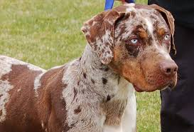 bluetick coonhound puppies for sale in louisiana catahoula leopard dog breeders in the united states puppies for