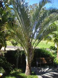 native rainforest plants dypsis decaryi triangle palm native to the madagascan