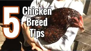 Best Backyard Chicken Breed by 5 Tips On Choosing The Best Chicken Breed You Heritage Breed