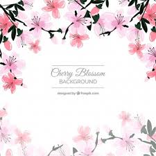 cherry blossom vectors photos and psd files free