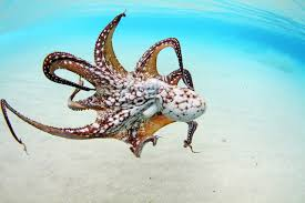 animal how octopuses do it