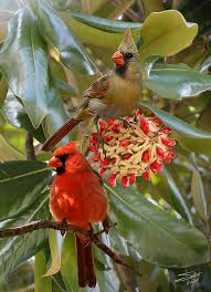 this is one of my favorite birds plus it is the state bird of