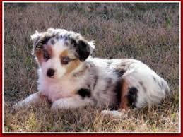 south carolina australian shepherd rescue miniature australian shepherd puppies for sale miniature and toy