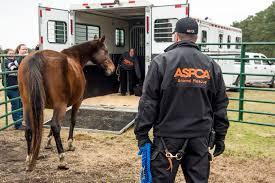 afghan hound rescue north carolina breaking news u2013 aspca assists in seizure of 700 animals from
