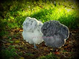 feeding a balanced diet backyard chickens