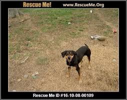 bluetick coonhound breeders indiana indiana bluetick coonhound rescue u2015 adoptions u2015 rescueme org