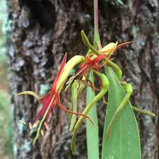 melbourne native plants melbourne u0027s peculiar parasitic plants u2014 wild melbourne