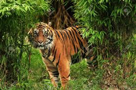 scary looking royal bengal tiger staring towards the