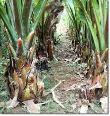 enset the false banana gives food security and more the