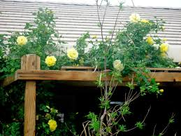 10 striking rare climbing roses you must plant