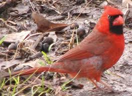 Mississippi birds images Cardinal cardinalis cardinalis jpg