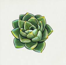 best 25 succulents drawing ideas on pinterest plant sketches