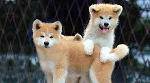 What Breed Is Doge Meme - breed of doge meme pets wallpapers
