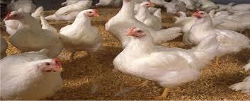 poultry production 12fruits farms