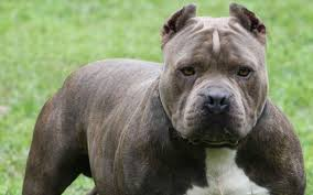 staffordshire bull terrier wallpapers images photos pictures