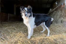 bearded collie and border collie mix border collie dog breed information pictures characteristics