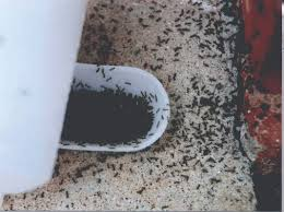 Small Black Bug In Bathroom Little Black Ants How To Get Rid Of Small Tiny Black Ants