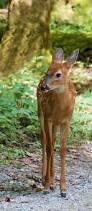 best 25 deer pics ideas on pinterest pictures of deer pics of