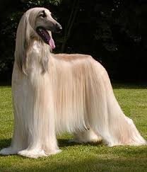 afghan hound lady and the tramp afghan hound get a free consultation for your large dog breed
