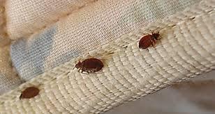 cimici da materasso come prevenire e riconoscere le infestazioni delle cimici dei