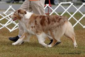 australian shepherd coat colors about the breed east wind aussies