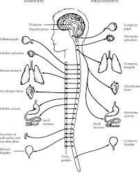 coloring download nervous system coloring page autonomic nervous