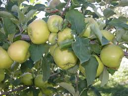 should it stay or go pruning fruit trees can be challenge