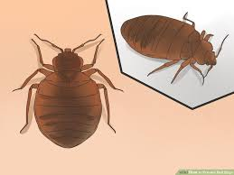 How To Avoid Bed Bugs Prevention Of Bed Bugs Maxwell Pest Solutionshattiesburg Ms
