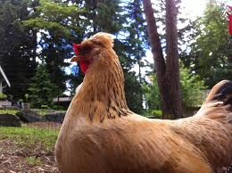 valhalla homestead icelandic chickens backyard chickens