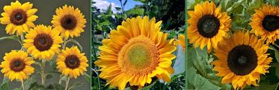 Creating and Growing A Sunflower House  Your Easy Garden