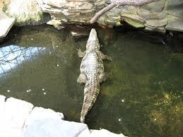 alligators and crocodiles free images public domain images