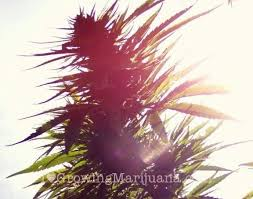 sunlight l for plants how much sunlight do outdoor marijuana plants need