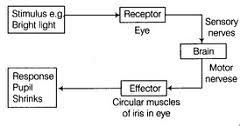 Describe A Reflex Action What Are Reflex Actions Give Two Examples Explain A Reflex Arc