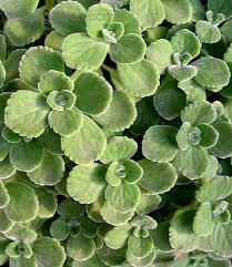 Indoor Fragrant Plants - plectranthus amboinicus cuban oregano a very pretty and