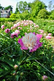 my herbaceous peony garden the martha stewart blog