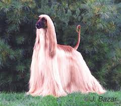 afghan hound pictures the afghan hound a dog of royalty pet secrets for humans yeepet