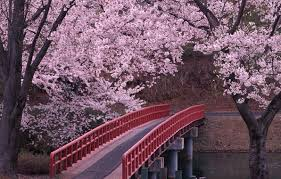 this is an image of a sakura flower garden in japan there is a
