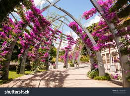 arches covered pink bougainvillea flowers southbank stock photo