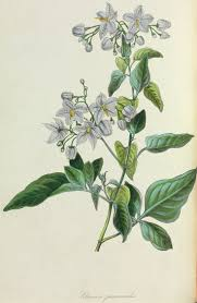 a revision of the dulcamaroid clade of solanum l solanaceae