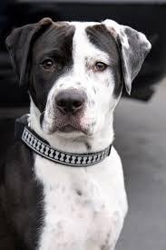 american pit bull terrier lab mix best 25 dalmatian mix ideas on pinterest pitbull mix breeds